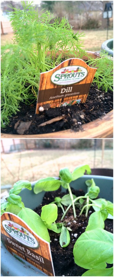 Getting ready for spring with dill and basil Plants